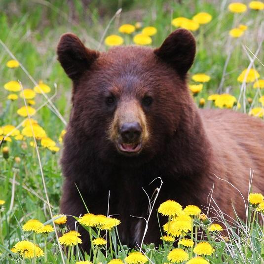 Bear 4A