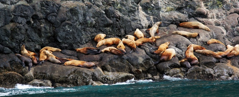 Sea Lions-Kenai Fjord A