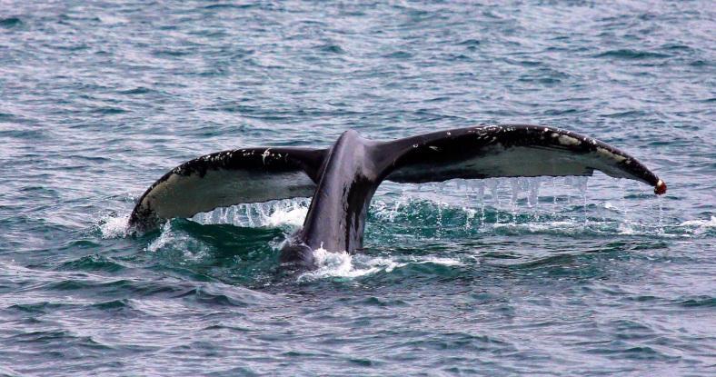 Tail of a Whale-Kenai Fjord A